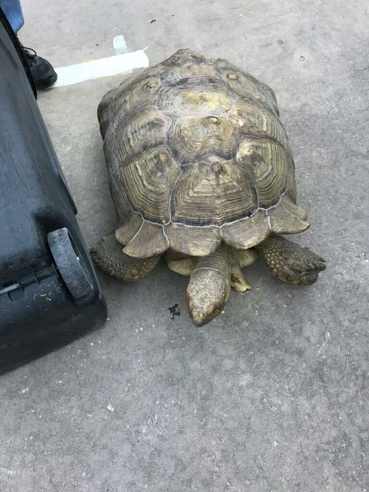 Montgomery County Constable Pct. 4 and the Texas Game Warden's office teamed up to rescue a large tortoise found meandering around in Porter on Thursday morning.