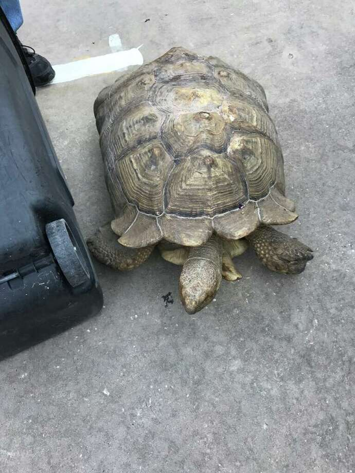Montgomery County Constable Pct. 4 and the Texas Game Warden's office teamed up to rescue a large tortoise found meandering around in Porter on Thursday morning. Photo: Montgomery County Constable Pct. 4