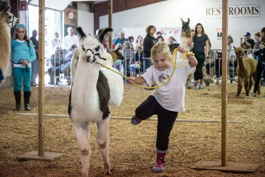 A girl takes her farm animal through its paces at last year's fair. Photo: Jennifer Schulten / Contributed Photo