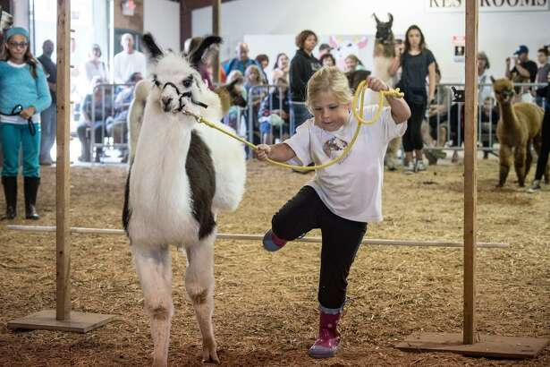 A girl takes her farm animal through its paces at last year's fair.