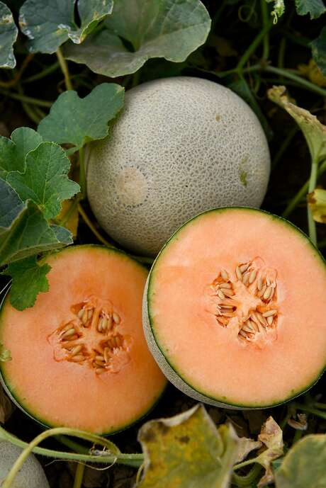 Harper melons in the demonstration garden in Davis of international seed producer HM Clause. Photo: Michael Short, Special To The Chronicle