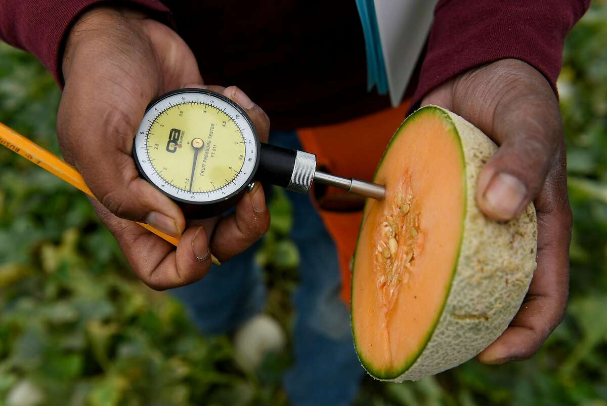 Researcher Juan Marroquin uses a fruit pressure tester on a Harper melon in the demonstration garden of seed producer HM Clause in Davis.