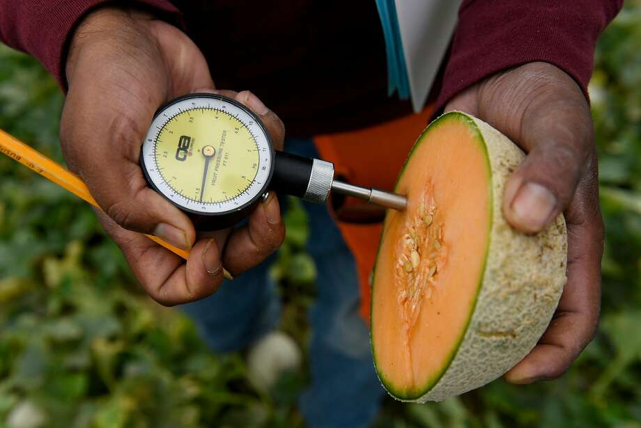 Researcher Juan Marroquin uses a fruit pressure tester on a Harper melon in the demonstration garden of seed producer HM Clause in Davis. Photo: Michael Short, Special To The Chronicle