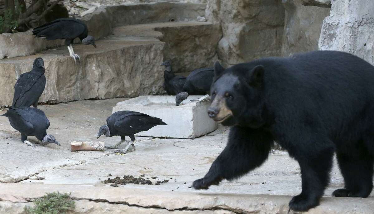 Vultures (left) at the San Antonio Zoo pick on a bone Friday September 15, 2017 as an American brown bear roams nearby. Flocks of vultures have arrived in open exhibits at the zoo and despite concerns from guests, zoo staff said their animals aren't in danger and hope to use the birds as an opportunity to educate their guests.
