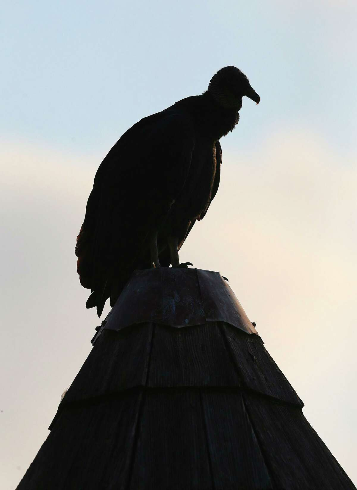 A vulture at the San Antonio Zoo sits on a roof.