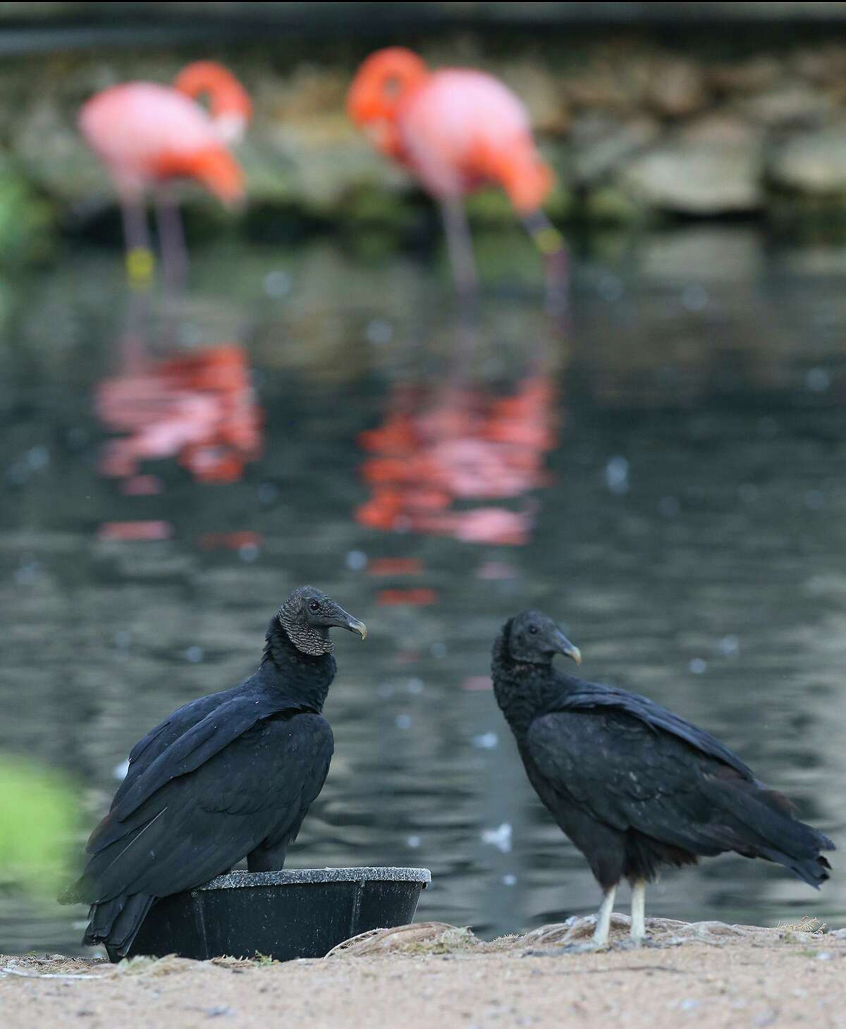 Black vultures at the San Antonio Zoo sit by water. In the background are two pink flamingos.