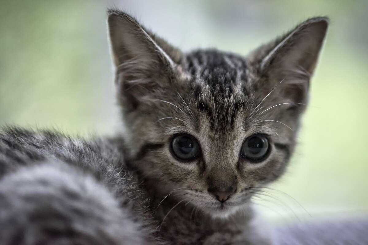 FILE PHOTO: Tabby kitten portrait. (Photo by John Greim/LightRocket via Getty Images)