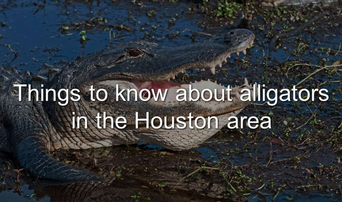 Continue through the photos to learn the things you need to know about gators in the Bayou City area.