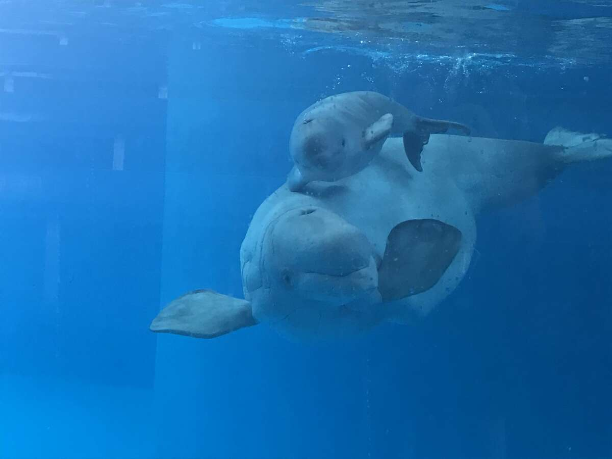 A 125-poundbeluga whale, was born Sunday, Sept. 17, 2017, at Sea World San Antonio at about 12:34 p.m.