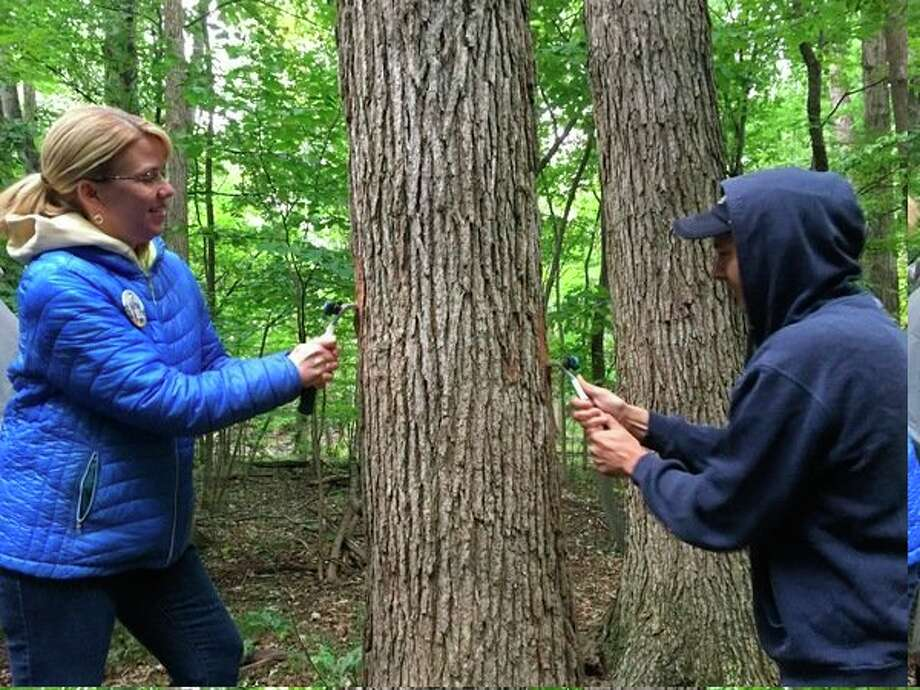 Ann Schmitz and Jim Woehrle scrape a thin layer of bark off a tree in Stratford Woods Park on Thursday, Sept. 7. (Victoria Ritter/for the Daily News)