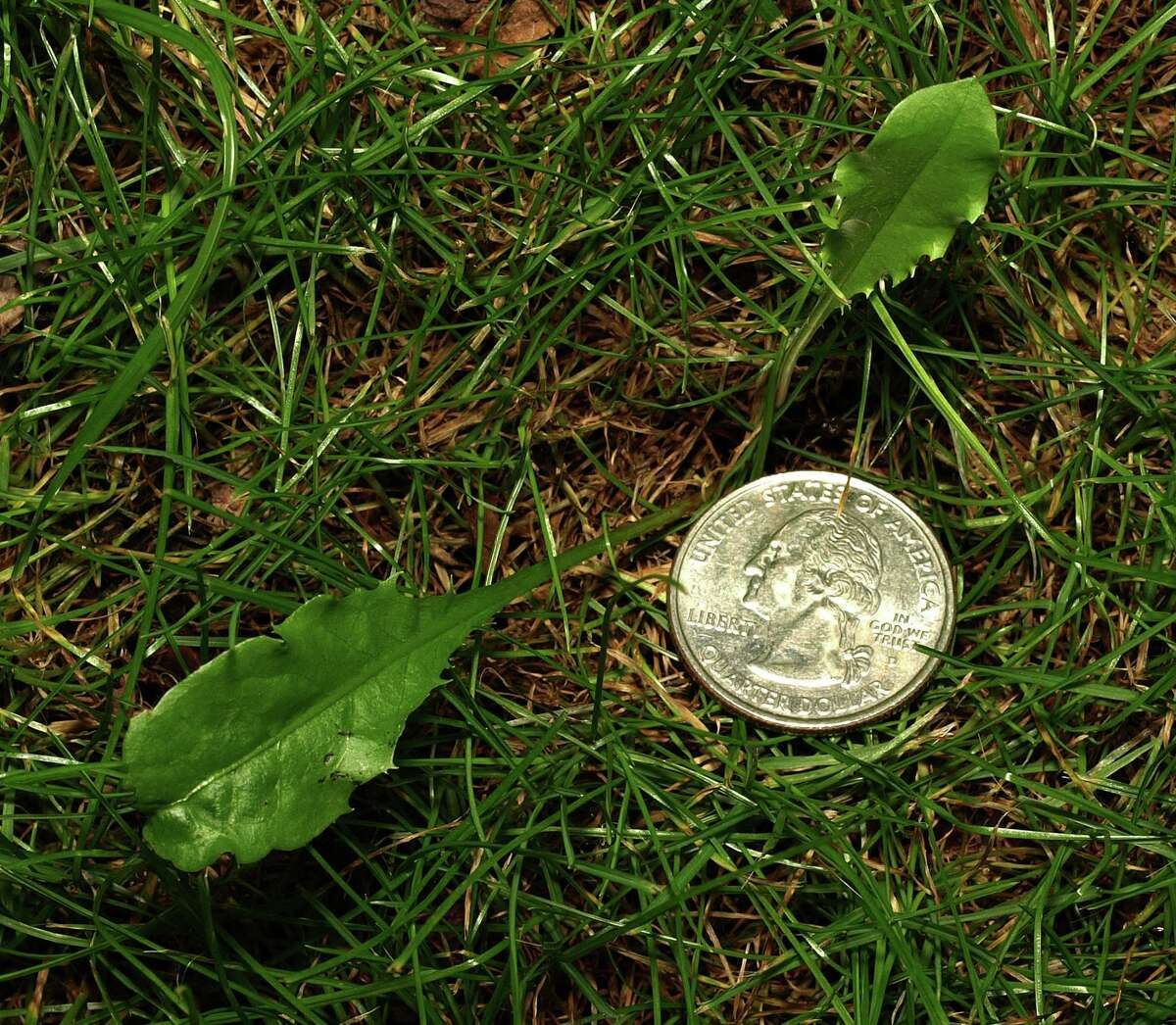 Late summer dandelion seedling. (Photo by Peter D. Bowden)