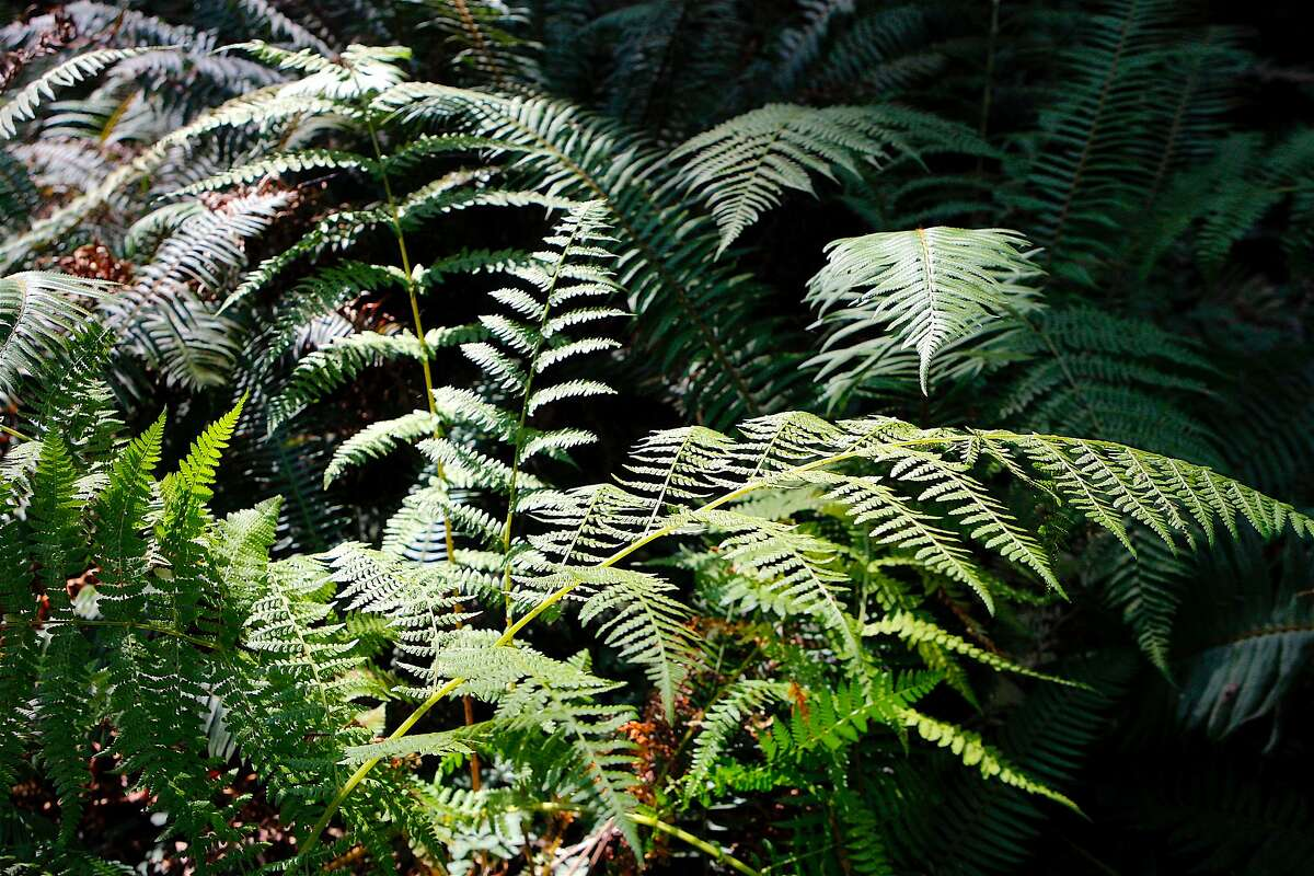 A mosaic of bracken ferns in Fern Canyon at Van Damme State Park on the Mendocino coast