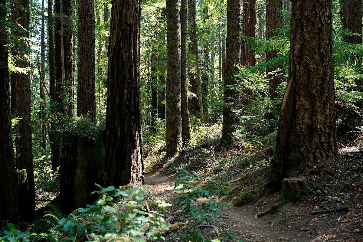 The trail that descends from the Pygmy Forest into Fern Canyon amid redwoods at Van Damme State Park on the Mendocino coast