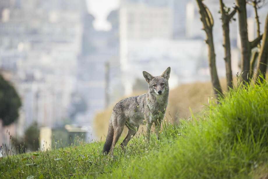 A coyote has been seen wandering the streets of San Francisco near Fort Mason. The animals are becoming more common in the city, making some pet owners nervous. Photo: Christopher Gallello