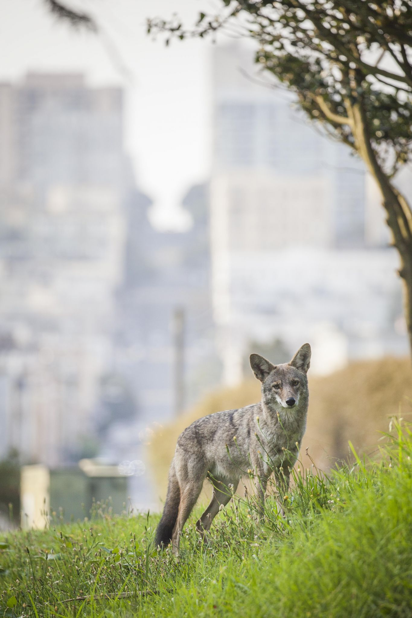 How to draw a coyote step 2 apps directories - Sf Resident Captures Coyote S Morning Stroll Through His Neighborhood Sfgate