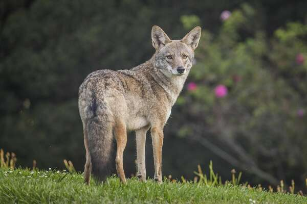 A coyote has been seen wandering the streets of San Francisco near Fort Mason. The animals are becoming more common in the city, making some pet owners nervous.
