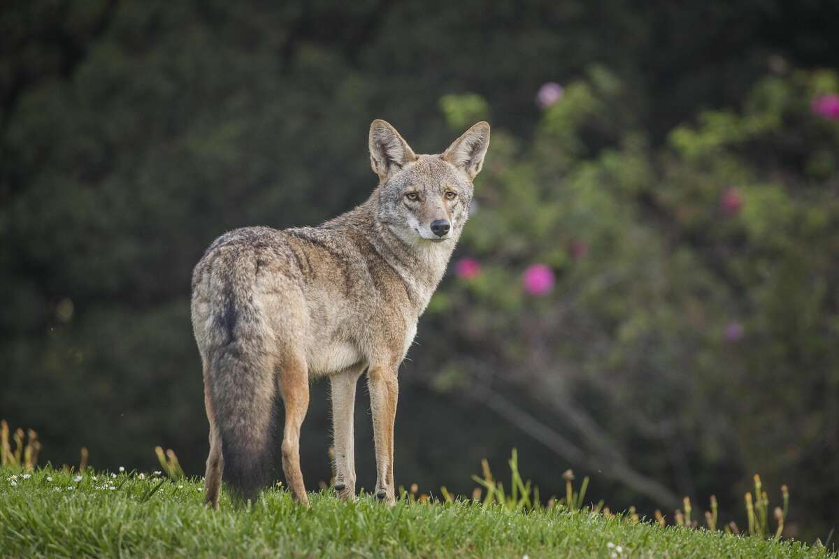 Be loudIf you see a coyote, scare it away with loud noises. Bang pots and pans, yell and throw things or spray it with a garden hose.