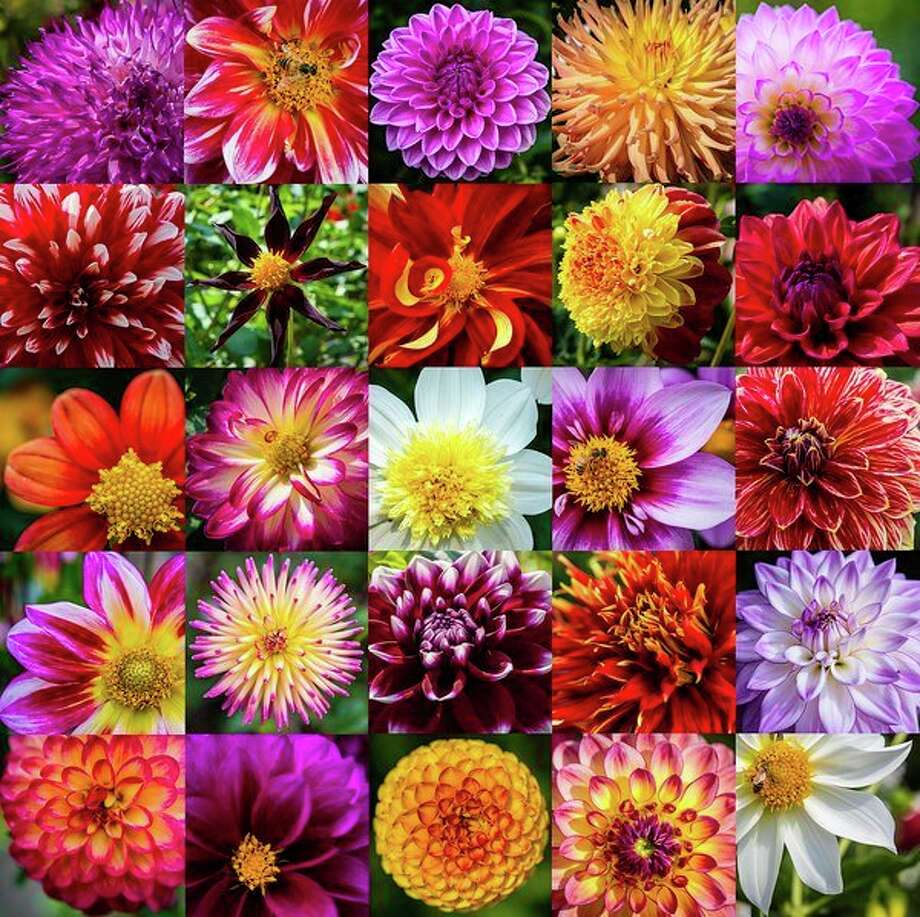 Dahlia Hill supporters honored its 25th anniversary with its annual Autumn Equinox event on Sunday. Visitors enjoyed the blooms as well as the Equiline Museum, refreshments and music. Dahlia Hill features 250 varieties of dahlias over eight terraces maintained by volunteers. Here are a sample 25.Top row: Higgo Wonder, Canby Centennial, Ian, Camano Sitka, Miss Delilah. Second row: Barbershop, Verrone's Obsidian, Bodacious, Alpen Fury, American Dream. Third row: Inflammation, Stillwater Raspberry, Platinum Blonde, Bloomquist Sweet, Mr. Optimist. Fourth row: Junkyard Dog, Kari Fruit Salad, Tomo, Show 'n' Tell, Lake Michigan. Fifth row: Raz Ma Taz, Gonzo Grape, Little Beeswings, Ester, Edelweiss. / ©2017