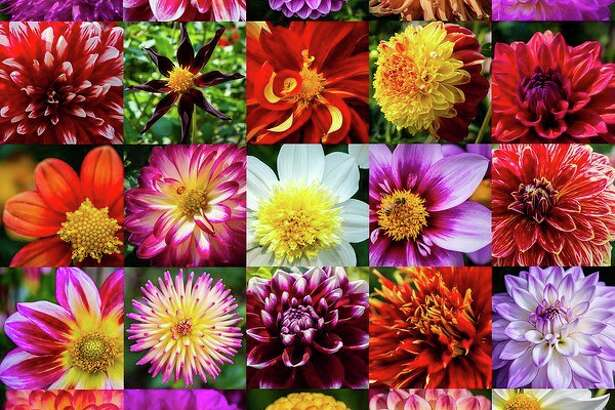 Dahlia Hill supporters honored its 25th anniversary with its annual Autumn Equinox event on Sunday. Visitors enjoyed the blooms as well as the Equiline Museum, refreshments and music. Dahlia Hill features 250 varieties of dahlias over eight terraces maintained by volunteers. Here are a sample 25.Top row: Higgo Wonder, Canby Centennial, Ian, Camano Sitka, Miss Delilah. Second row: Barbershop, Verrone's Obsidian, Bodacious, Alpen Fury, American Dream. Third row: Inflammation, Stillwater Raspberry, Platinum Blonde, Bloomquist Sweet, Mr. Optimist. Fourth row: Junkyard Dog, Kari Fruit Salad, Tomo, Show 'n' Tell, Lake Michigan. Fifth row: Raz Ma Taz, Gonzo Grape, Little Beeswings, Ester, Edelweiss.