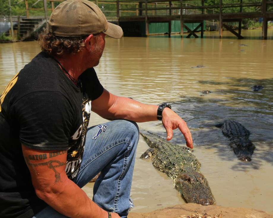 Owner of Gator-Country-Rescue Gary Saurage watches over the alligators at the Gator Country adventure park. Saurage states that the park holds around four hundred alligators.  Friday, July 10, 2015, in Beaumont. ( Dylan Aguilar / Houston Chronicle ) Photo: Dylan Aguilar, Staff / Internal