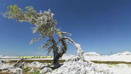 Cotton blown loose by Hurricane Harvey winds from modules near the Bayside-Richardson Co-Op Gin in Woodsboro look like snow coating a tree Thursday Sept. 7, 2017. Wind and flood waters damaged much of the area's cotton crop in a year that many people in the cotton industry said was bordering on a record crop.