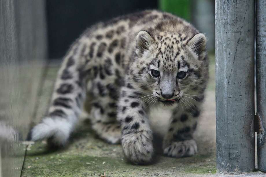 Aibek, the Woodland Park Zoo's baby snow leopard, made his public debut into the outdoor exhibit, Tuesday, Sept 19, 2017.  Aibek is two-and-a-half months old and has been living with his mother Helen in a maternity den since his birth in June. Snow leopards are a vulnerable species with a high risk of extinction. Over the next few weeks, Aibek the public will be able to view Aibek and his mother in the outdoor enclosure from noon to 3:00 p.m. daily. Photo: GENNA MARTIN, SEATTLEPI / SEATTLEPI.COM