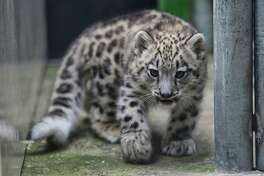 Aibek, the Woodland Park Zoo's baby snow leopard, made his public debut into the outdoor exhibit, Tuesday, Sept 19, 2017.  Aibek is two-and-a-half months old and has been living with his mother Helen in a maternity den since his birth in June. Snow leopards are a vulnerable species with a high risk of extinction. Over the next few weeks, Aibek the public will be able to view Aibek and his mother in the outdoor enclosure from noon to 3:00 p.m. daily.