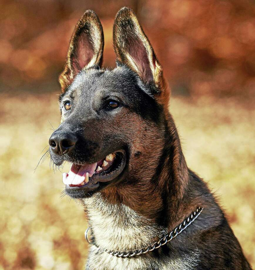 Middletown Police Department canine Koda will receive a bullet and stab-proof vest this fall. Photo: Contributed By Middletown Police  / KIMCARINOO x