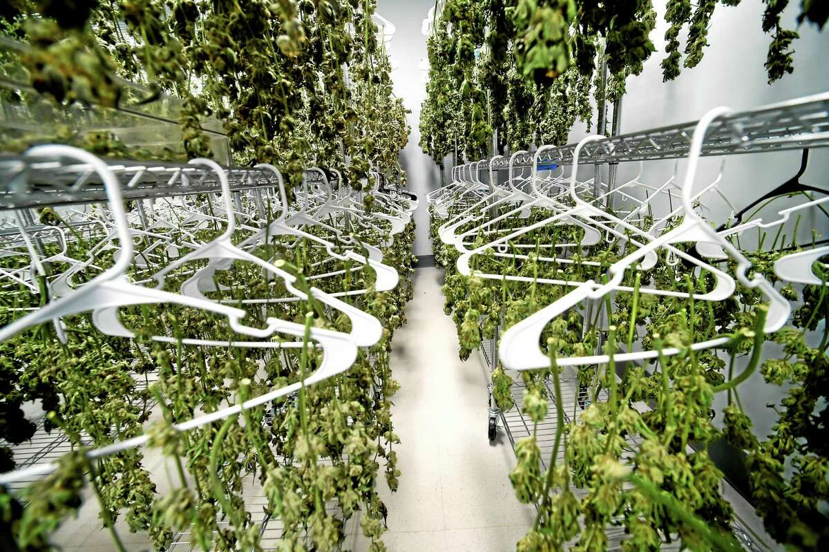 (Peter Hvizdak - New Haven Register) The drying room of the medical marijuana production facility, Advanced Grow Labs in West Haven, Connecticut, September 15, 2015. Advanced Grow Labs is one of four legalized growers of marijuana in Connecticut for the palliative use of pharmaceutical quality marijuana by Connecticut's healthcare system and its dispensaries for qualifying patients. The use of medical marijuana in Connecticut was legalized in 2012.