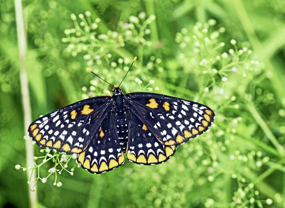 A Baltimore Checkerspot butterfly spotted during an event co-sponsored by the Redding Land Trust and butterfly expert Victor DeMasi to coincide with the annual national butterfly count, on July 1 in Redding. Photo: H John Voorhees III / Hearst Connecticut Media  / The News-Times