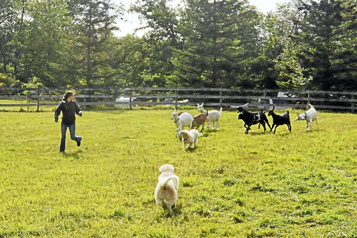 Last Friday, Grace Toy spent time in the pasture with her goats on her farm in Harwinton.