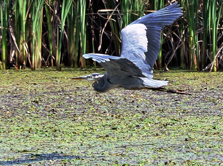 A Great Blue Heron flies low over a marshy bank of the Mohawk River Tuesday Sept. 19, 2017 in Halfmoon, NY.  (John Carl D'Annibale / Times Union) Photo: John Carl D'Annibale