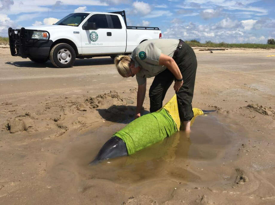 Sea Rim State Park staff worked with the Texas Marine Mammal Stranding Network to rescue a dolphin on McFaddin beach. Photo: Texas Parks And Wildlife