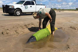 Sea Rim State Park staff worked with the Texas Marine Mammal Stranding Network to rescue a dolphin on McFaddin beach.