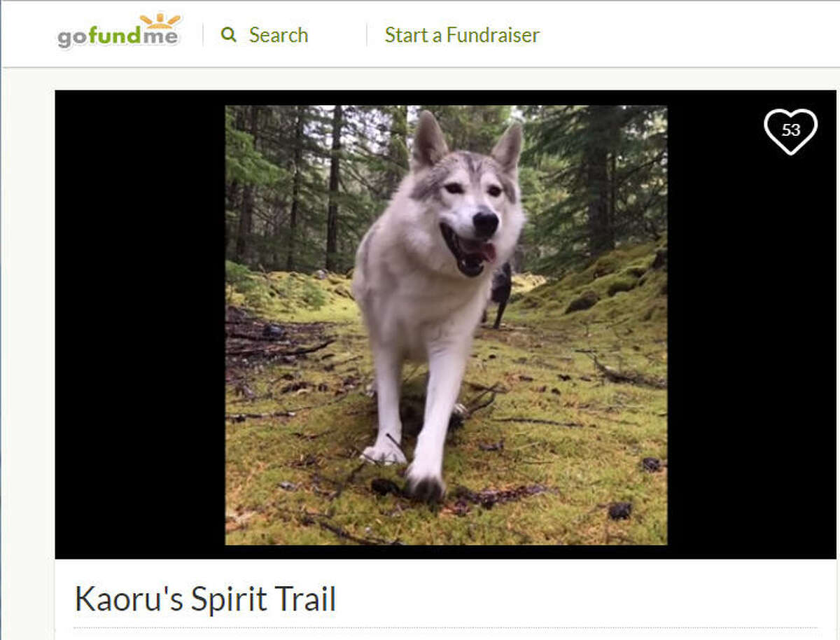 Kaoru, a Tamaskan who was a therapy dog, was shot while walking on a trail in British Columbia, Canada on Sept. 18, 2017.Image source:GoFundMe See dogs that were able to escape Hurricane Harvey up ahead.