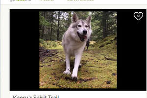 Kaoru, a Tamaskan who was a therapy dog, was shot while walking on a trail in British Columbia, Canada on Sept. 18, 2017.  Image source:  GoFundMe