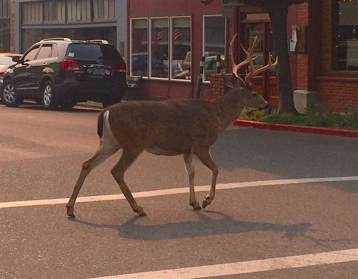 On the opening week of deer season in Northern California, Tom Hesseldenz was at a stoplight in Yreka, California when this buck walked right in front of him in the crosswalk.