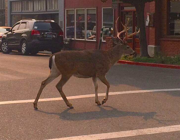 On the opening week of deer season in Northern California, Tom Hesseldenz was at a stoplight in Yreka, California, when this buck walked right in front of him in the crosswalk