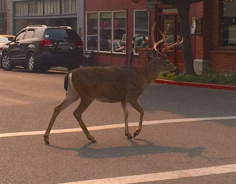 On the opening week of deer season in Northern California, Tom Hesseldenz was at a stoplight in Yreka, California when this buck walked right in front of him in the crosswalk. Photo: Tom Stienstra, Tom Hesseldenz / Special To The Chronicle