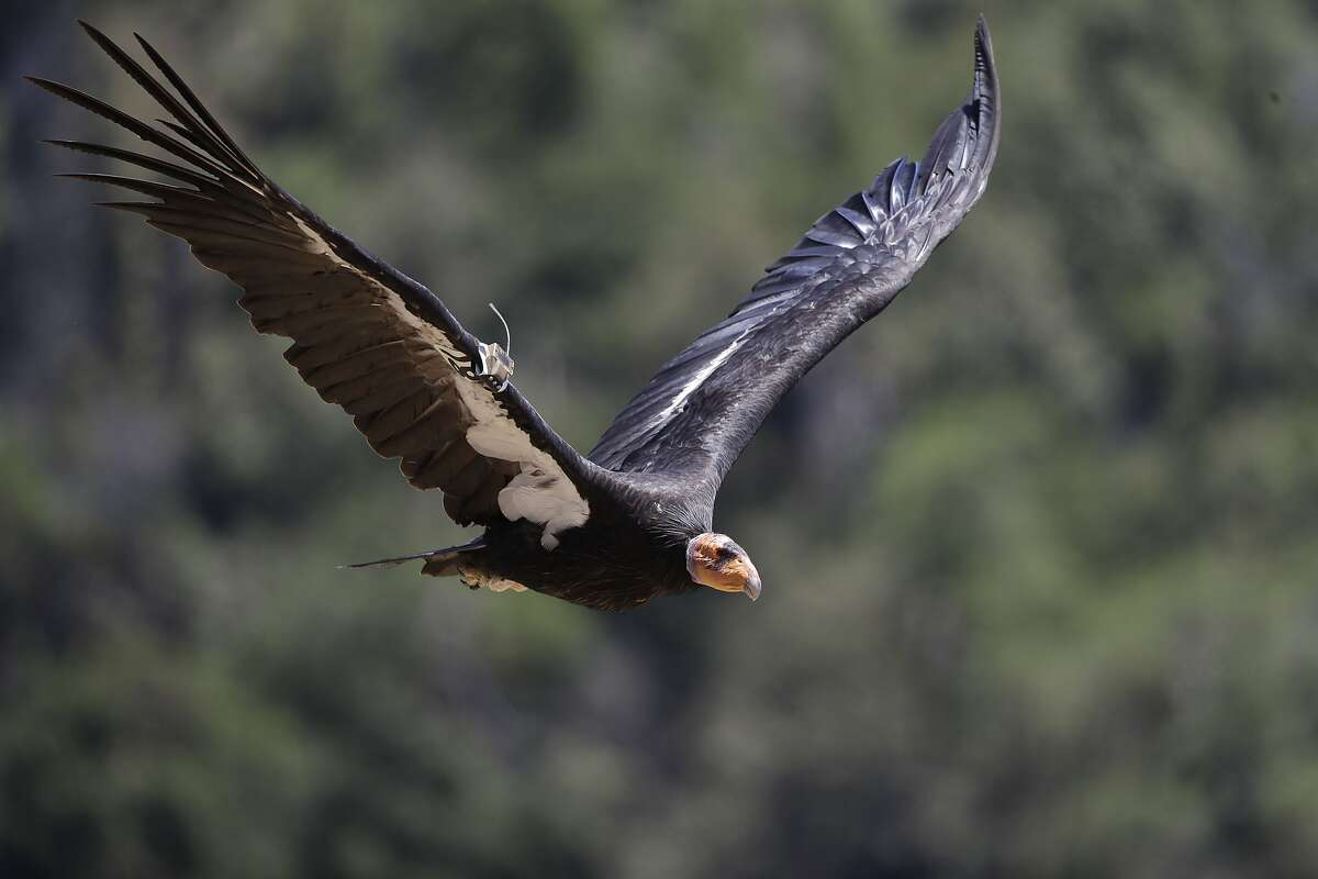 In this Wednesday, June 21, 2017 photo, a California condor takes flight in the Ventana Wilderness east of Big Sur, Calif.