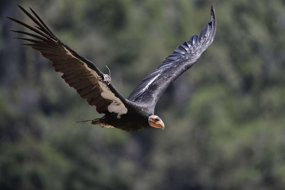 A California condor takes flight in the Ventana Wilderness east of Big Sur. The bird is staging an impressive comeback. Photo: Marcio Jose Sanchez, Associated Press