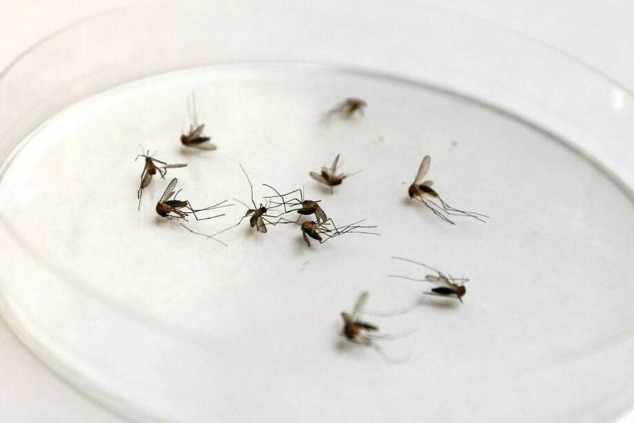 A collection of mosquitoes sit in a petri dish for West Nile virus testing. A mosquito tested positive for West Nile virus in Bexar County, officials said Wednesday. Photo: Michael Minasi /Conroe Courier