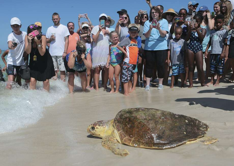 A loggerhead sea turtle is released back into the gulf after being treated for pneumonia at Gulf World Marine Institute, in Inlet Beach, Fla.See which animals in Texas remain endangered... Photo: Heather Leiphart, Associated Press
