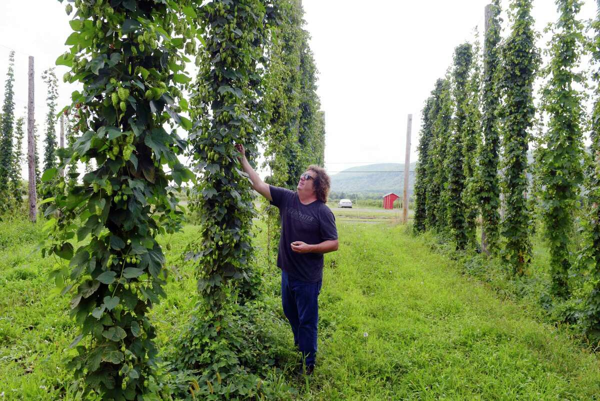 Dietrich Gehring, owner of Indian Ladder Farms Cidery and Brewery, checks over the hops growing at Indian Ladder Farms on Wednesday, Aug. 16, 2017, in Altamont, N.Y. (Paul Buckowski / Times Union)