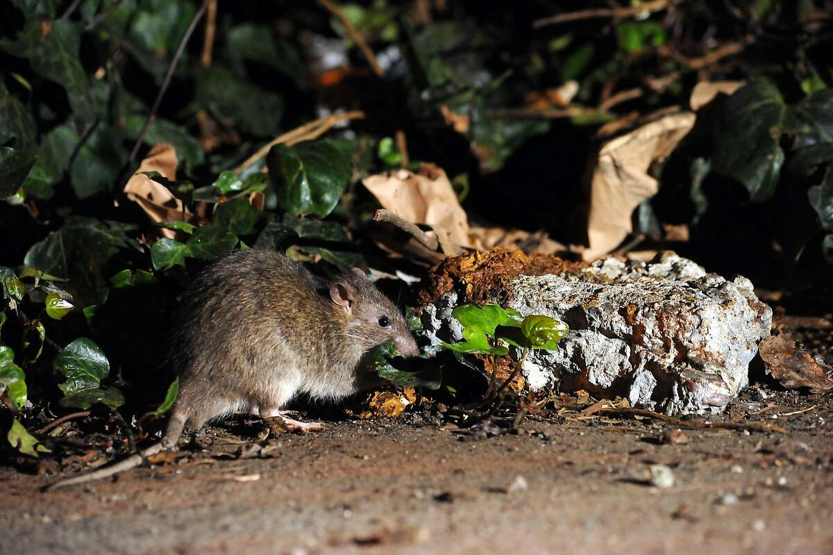 FILE-- Rats are seen in the bushes of the parking lot of Feline Wishes and Caviar Dreams, a cat boarding facility on Bryant St. in San Francisco on November 9, 2013. The number of rat complaints made to 311 has risen steadily in the last five years.
