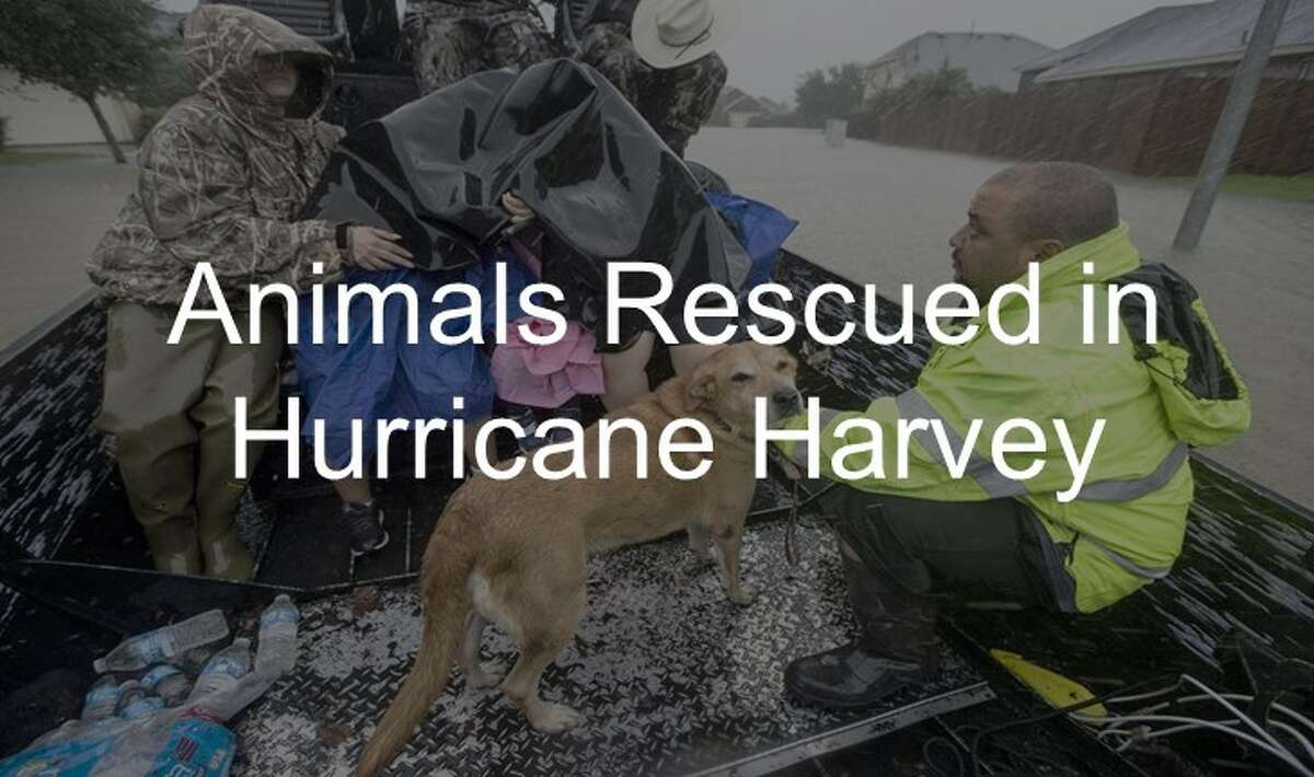 Seen animals that were rescued during Hurricane Harvey up ahead.