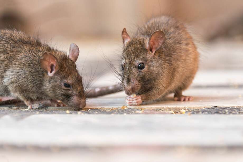 Click ahead to see the signs of rat and rodent infestations.Look for scattered rat droppings by pathways, feeding locations and shelters. Photo: Alexander W Helin/Getty Images