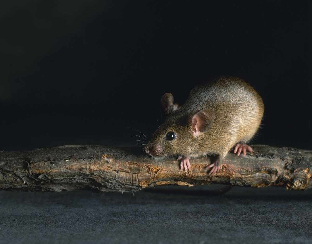 Dark, greasy rub marks is another indicator of rats. It's caused by the rats' fur oil coming in contact with painted surfaces or wooden beams.