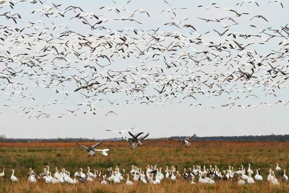 The majority of geese wintering on the Texas coast are part of the mid-continent population of snow geese.