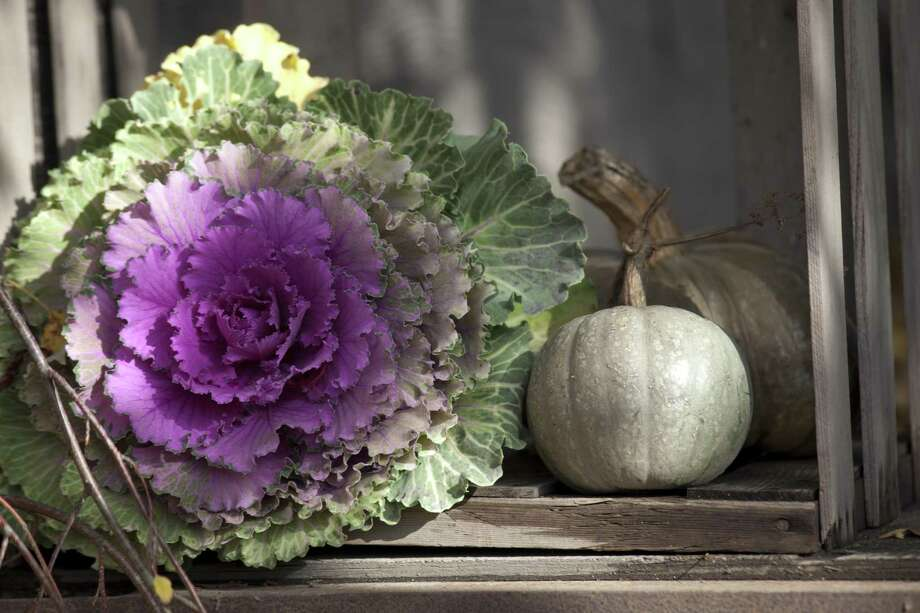 Ornamental kale and cabbage decorates the winter garden with its colorful foliage rather than with blooms. Some selections have a fringed look, and all make a disciplined row or massed planting. Photo: Garden Photo World / David C. Phillips /Getty Images / Canopy / This content is subject to copyright.